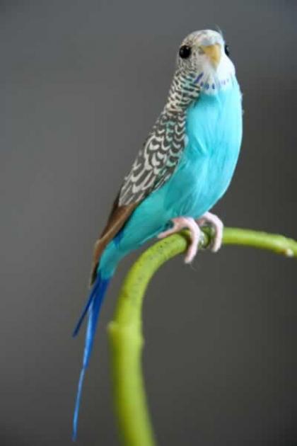 A Fabulous Artificial Bird - Blue Budgie