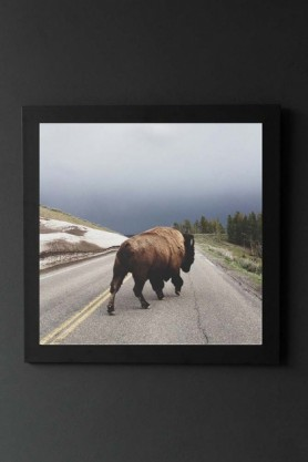lifestyle image of Unframed Street Walker Fine Art Print buffalo walking down road in black frame on dark wall background