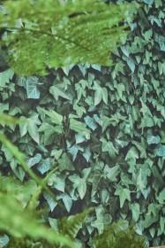 Koziel Ivy Wallpaper