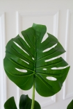 Close-up image of a leaf on the Faux Monstera Cheese Plant