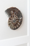 Close-up image of one of the fossils in the Modern Fossilised Nautilus Framed Art