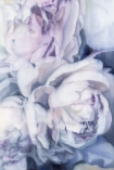 "Close-up detail image of the Unframed Art Print by Amy Carter ""Fall From Grace"" pink white roses"