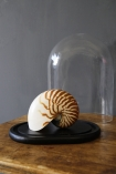 lifestyle image of Oval Display Dome With Black Base with glass done taken off on wooden table with grey wall background