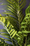 Faux Potted Areca Palm detail leaves image