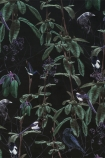 detail image of Witch & Watchman Folia Wallpaper - Dark green leaves and purple detailing on black background