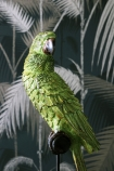 Green Tropical Parrot On A Perch close up detail image with dark palm leaf wallpaper background