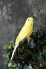 A Fabulous Artificial Bird - Yellow Budgie