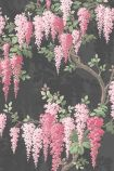 detail image of the Wisteria Noir Black Wallpaper by Pearl Lowe pink wisteria flowers with green leaves on brown branches on dark background